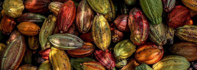 Kakaofrugter høstet i Blue Valley
